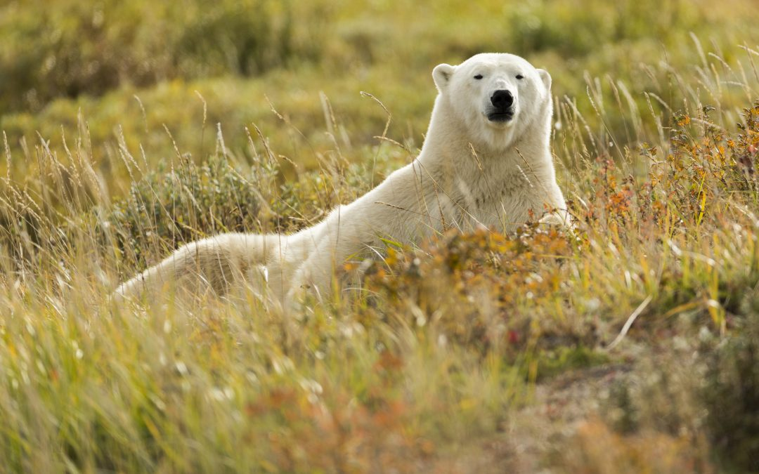 Face to Face with Polar Bears on a Photographic Safari  in the Panoramic Tundra of Churchill Wild